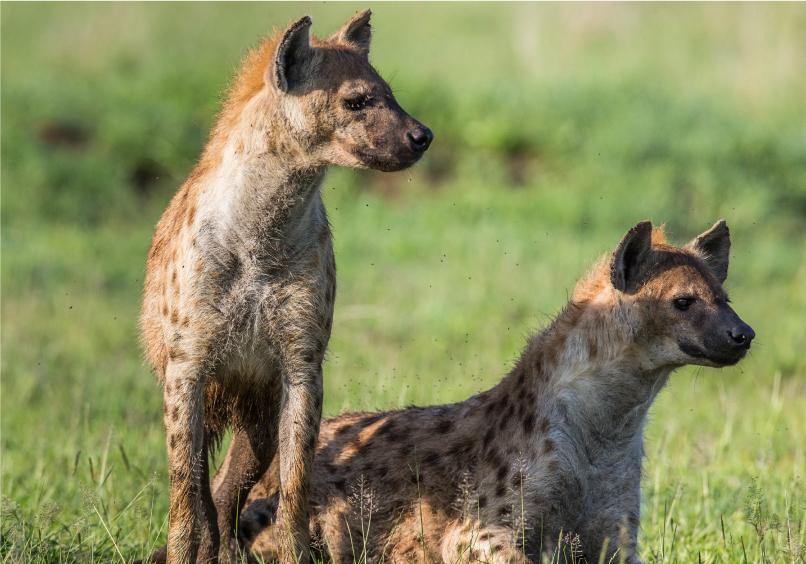 hyena-photo